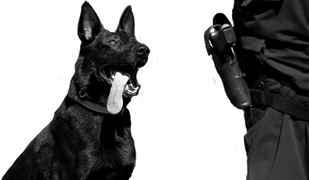 Trainer with detection dog black and white photo