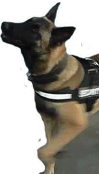 Detection dog
