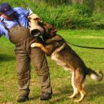 Jamie training German Sheperd in attack