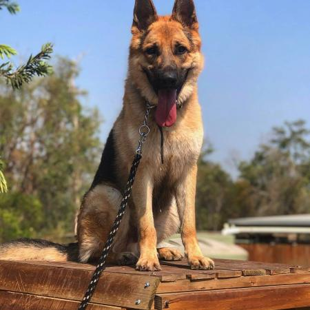 Gringo - 1.5 yr German Shepherd for sale