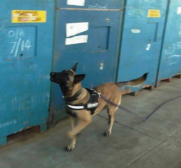 Detector dog sniffing shipping containers