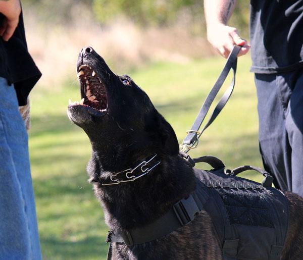 Viscious dog barking at stranger