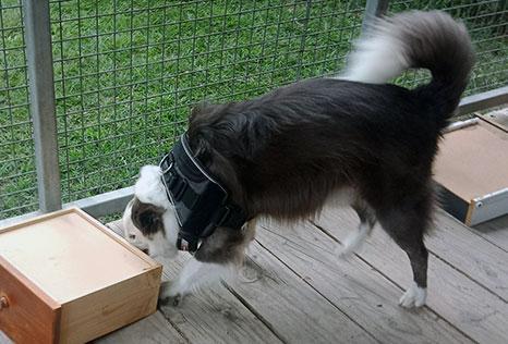 Drug detection dog in training