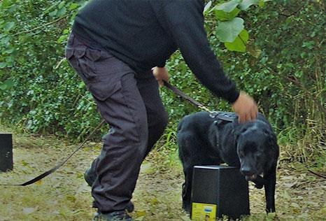 In the field training black labrador for scent detection