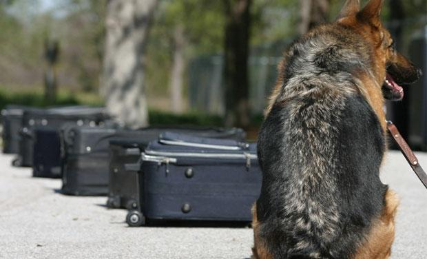 Detection dog being trained with suitcases