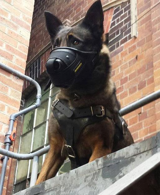 German Sheperd with muzzle guarding premises