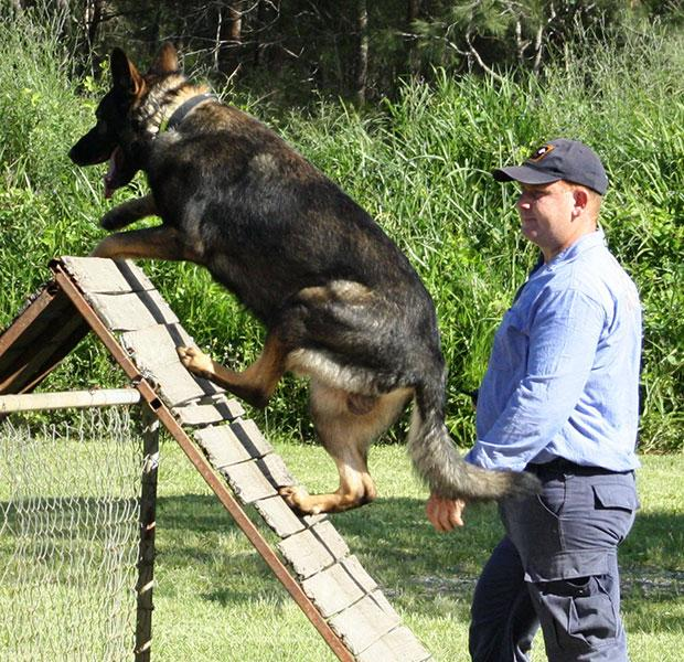 German Sheperd climbing obstacle course with trainer